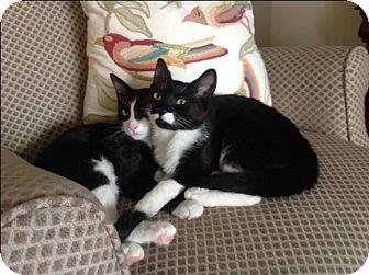 Domestic Shorthair Kitten for adoption in Monrovia, California - Kerrera