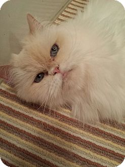 Himalayan Cat for adoption in Columbus, Ohio - Crystal