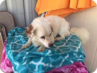 Cocker Spaniel/Dachshund Mix Dog for adoption in Elk Grove, California - CRESCENT