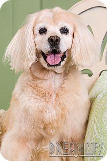 Cocker Spaniel Mix Dog for adoption in Owensboro, Kentucky - Sadie