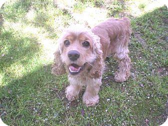 Cocker Spaniel Dog for adoption in Kannapolis, North Carolina - Aaron  -Adopted!