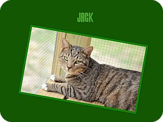 Domestic Shorthair Kitten for adoption in Dallas, North Carolina - JACK