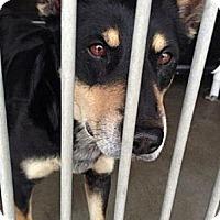 Adopt A Pet :: Braden - Seattle, WA