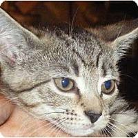 Adopt A Pet :: Dolly - Kensington, MD