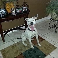 Adopt A Pet :: ROMAN (DG) - Tampa, FL
