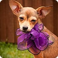 Adopt A Pet :: Raina - Puppy - Dallas, TX
