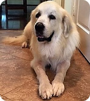 Great Pyrenees Mix Dog for adoption in Kyle, Texas - George