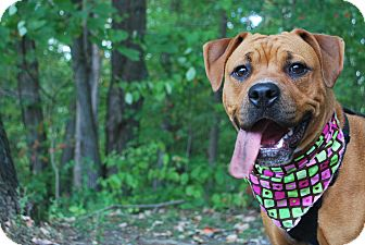 Pit Bull Terrier/Boxer Mix Dog for adoption in New Castle, Pennsylvania - Pumpkin Spice
