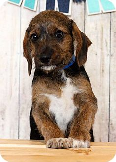 Dachshund Mix Puppy for adoption in Waldorf, Maryland - Bruno