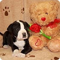 Adopt A Pet :: Brady - Salem, NH