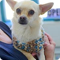Adopt A Pet :: Teddy Bear - Greenwood, SC