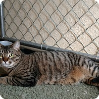 Domestic Shorthair Cat for adoption in Modesto, California - Louie