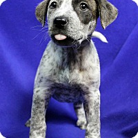 Adopt A Pet :: Wendall - Westminster, CO