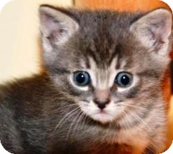 Domestic Shorthair Kitten for adoption in Pasadena, California - Buttercup