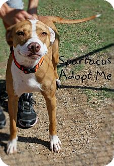 American Pit Bull Terrier/American Bulldog Mix Dog for adoption in Mesa, Arizona - Spartacus
