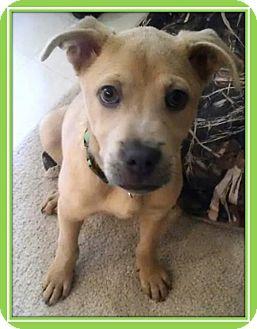 Shepherd (Unknown Type) Mix Puppy for adoption in Gilbert, Arizona - Barnabee