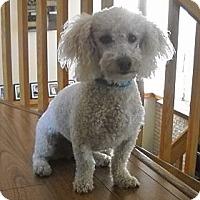 Adopt A Pet :: Figaro - Rigaud, QC