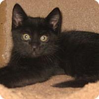 Adopt A Pet :: Dorset - Dallas, TX