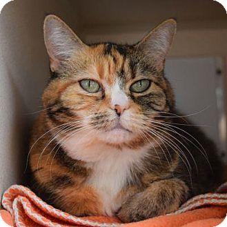Domestic Shorthair Cat for adoption in Denver, Colorado - Cinnamon