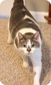 Domestic Shorthair Cat for adoption in Concord, North Carolina - Peanut