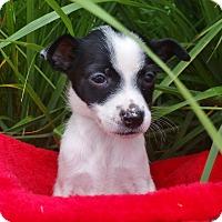 Adopt A Pet :: Layla-Adoption pending - Bridgeton, MO