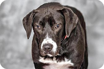 Labrador Retriever Mix Dog for adoption in Cashiers, North Carolina - Paisley