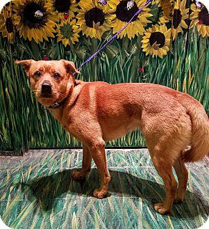 Chow Chow Mix Dog for adoption in West Babylon, New York - Garrett