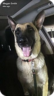 German Shepherd Dog Dog for adoption in Dripping Springs, Texas - Roxy
