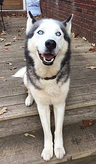 Siberian Husky Dog for adoption in Dayton, Maryland - Orion - ON HOLD - NO MORE APPLICATIONS