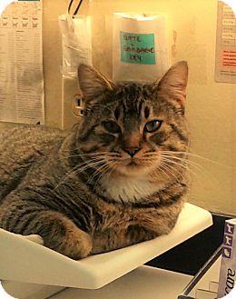 Domestic Shorthair Cat for adoption in Port Coquitlam, British Columbia - Horton