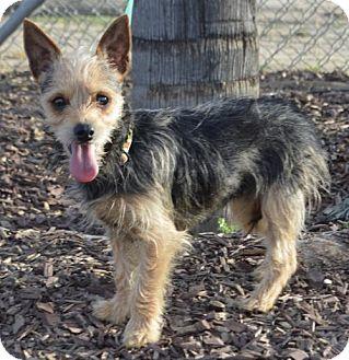 Yorkie, Yorkshire Terrier Dog for adoption in Las Vegas, Nevada - Bagherra