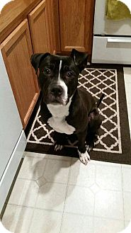 American Pit Bull Terrier/American Staffordshire Terrier Mix Dog for adoption in Wheaton, Illinois - Benji