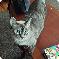 Domestic Shorthair Cat for adoption in Leamington, Ontario - Sira