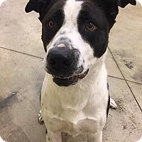 Adopt A Pet :: Ricky - SHELBY TWP, MI