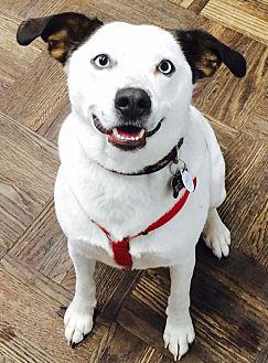 Australian Shepherd/Beagle Mix Dog for adoption in Seattle, Washington - Richie