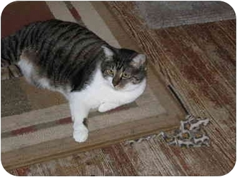 Domestic Shorthair Cat for adoption in North Boston, New York - Joey