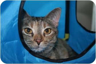 Domestic Shorthair Cat for adoption in Cincinnati, Ohio - Twinkle