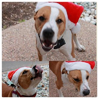 American Bulldog/Brittany Mix Dog for adoption in Garden City, Michigan - Rooster
