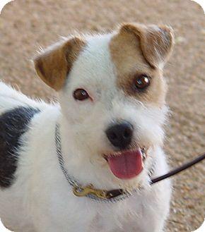 Jack Russell Terrier Dog for adoption in Scottsdale, Arizona - HAMMER