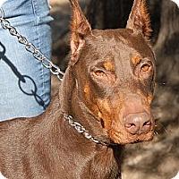 Adopt A Pet :: Trina - Sun Valley, CA