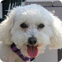 Adopt A Pet :: Abbie Rose - La Costa, CA