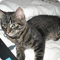 Adopt A Pet :: Pluto-Fun Loving Kitten - Arlington, VA