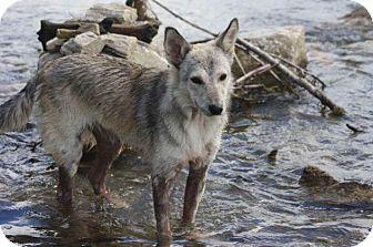 Husky Mix Dog for adoption in Saskatoon, Saskatchewan - Misty-Pending