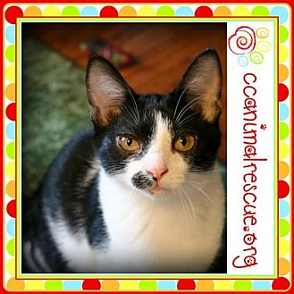 Domestic Shorthair Cat for adoption in Panama City, Florida - Coleen