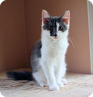 Domestic Mediumhair Kitten for adoption in Morganton, North Carolina - Frankie