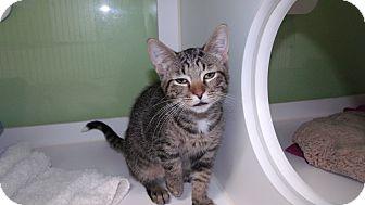 Domestic Shorthair Kitten for adoption in Muskegon, Michigan - violet
