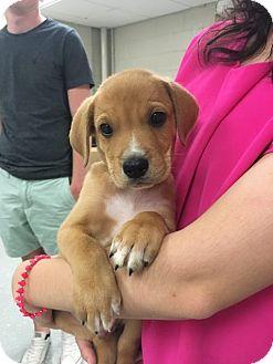 Labrador Retriever/Hound (Unknown Type) Mix Puppy for adoption in Cumming, Georgia - Taco-Lexi's Pup