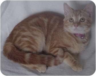 Domestic Shorthair Kitten for adoption in Franklin, North Carolina - Madison