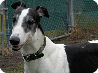"Greyhound Dog for adoption in Longwood, Florida - Doc""s Greed"