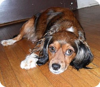 Cavalier King Charles Spaniel/Silky Terrier Mix Dog for adoption in Bedminster, New Jersey - Lady Bug